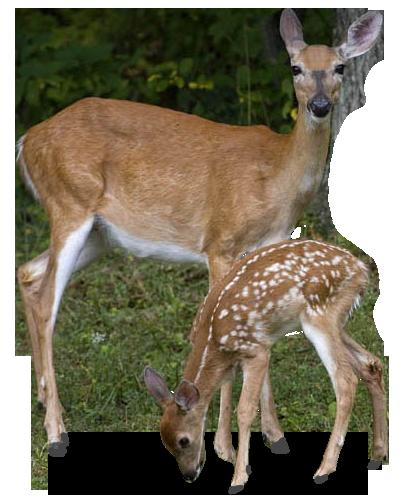 deer_PNG10188